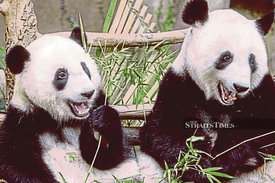Giant pandas Xing Xing and Liang Liang symbolise the  friendship between China and Malaysia.  FILE PIC