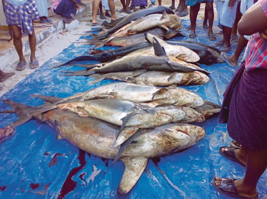 Globally Millions Of Sharks Are Hunted For Their Fins After Catching The And Cutting Dorsal Tossed Back Into Sea To