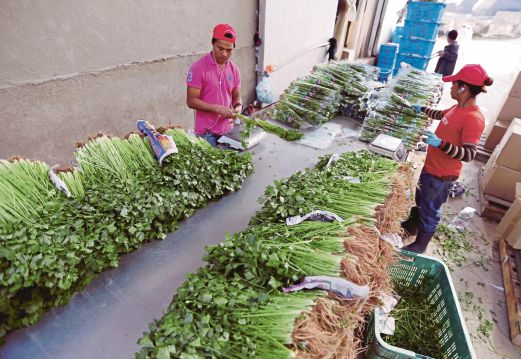 Farmers and transporters say the prices of vegetables are out of their control. Pix by Muhaizan Yahya