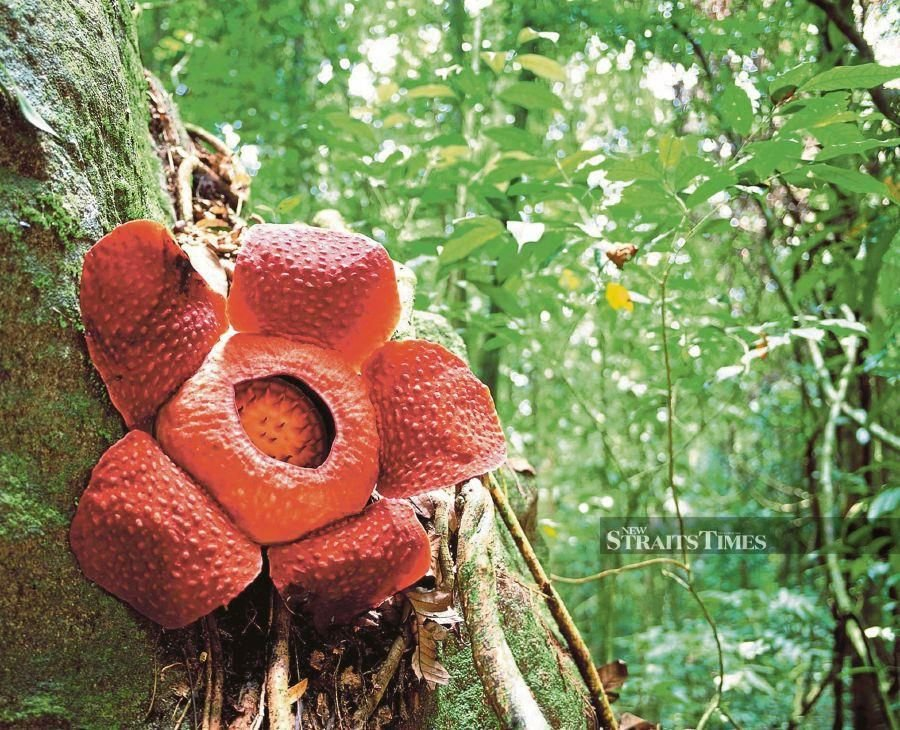 Who's gone hunting in the rainforest for the mighty sight and somewhat less spectacular smell of the world's largest flower, the Rafflesia, in full bloom? FILE PIC