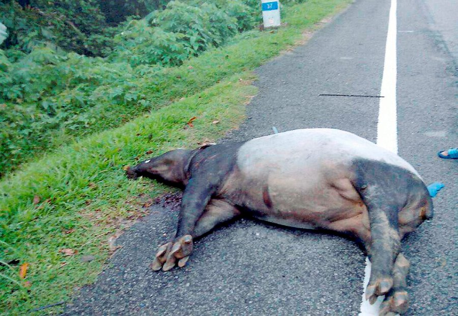 Over 2,000 endangered animals killed on M'sian roads since