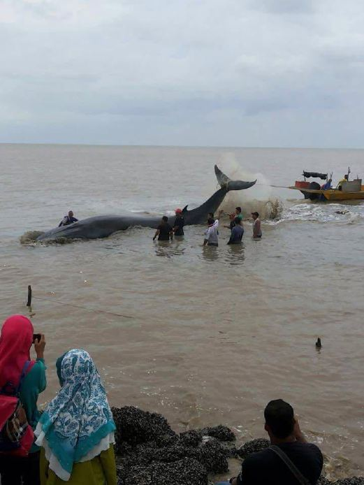The sight of a beached whale, measuring around 20m long at the Rambah shoreline caused a commotion among the locals today. Pix courtesy of NST reader.