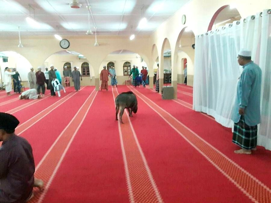 Wild boar wanders into mosque, injures worshipper