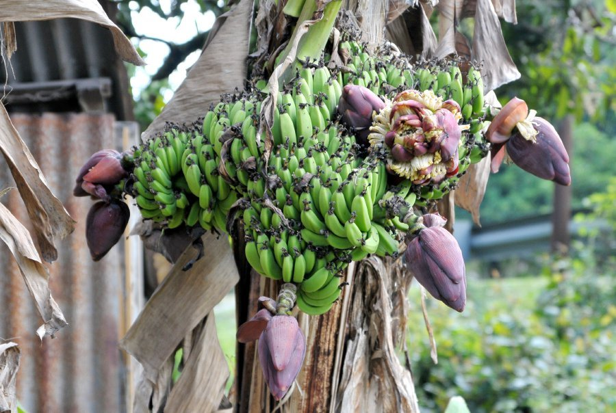 A Banana Tree Here At Kampung Gentam Is Attracting Attention After It Flowered And Produced Eight Separate Fruit Bunches With Male Buds