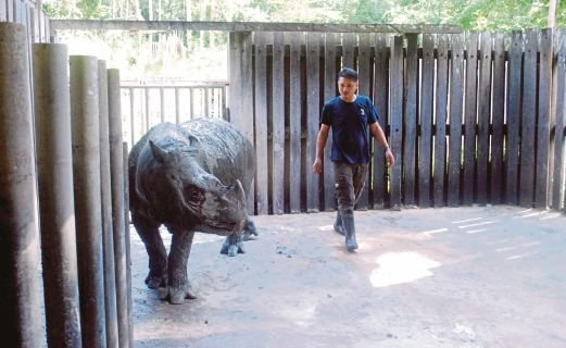 Wilson Kuntil checking on Kertam at the Borneo Rhinoceros Sanctuary paddock in the Tabin Wildlife Reserve in Lahad Datu.