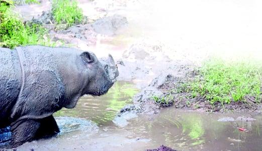 Kertam the Sumatran rhinoceros heading for its mud pit at the Borneo Rhinoceros Sanctuary in the Tabin Wildlife Reserve in Lahad Datu. Pix by Roy Goh