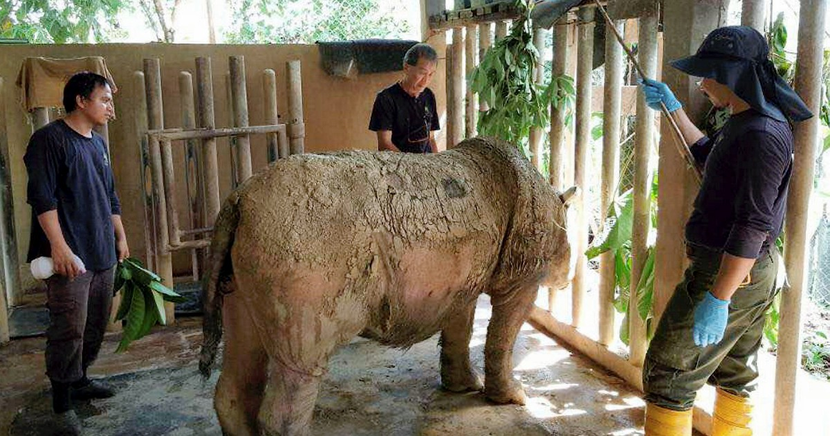 Sabah to continue asking Indonesia for rhino sperm