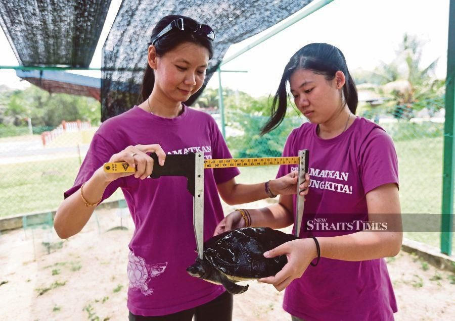 Turtle Conservation Society and project co-founder and leader Dr Chen Pelf Nyok (left) measuring a river terrapin in Kampung Pasir Gajah in Terengganu. FILE PIC