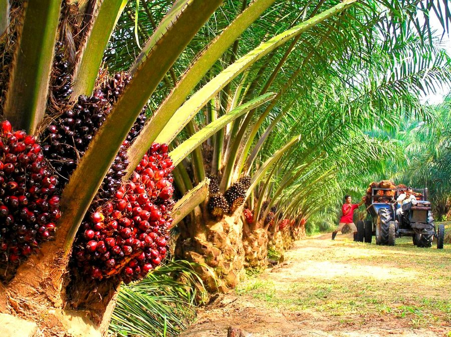 asian agri and the future of palm oil harvard essay Of a great essay essay about the future of south 2 zones why harvard college essay myessays admissions essay palm beach state.