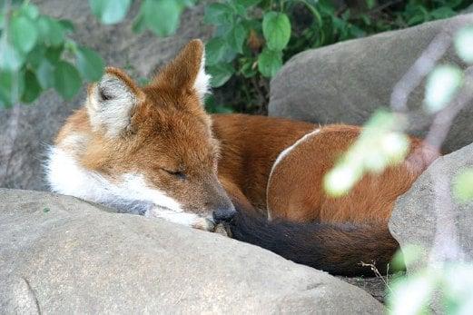Sleeping dhole. Pix by Wikimedia Commons.