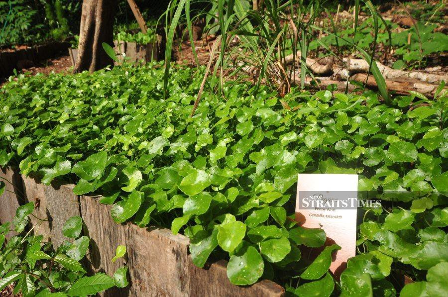 Lush bed of Pegaga, commonly known as Asiatic pennywort.