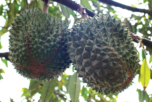 Durians anyone? Mangala Resort has abundant tropical fruits.