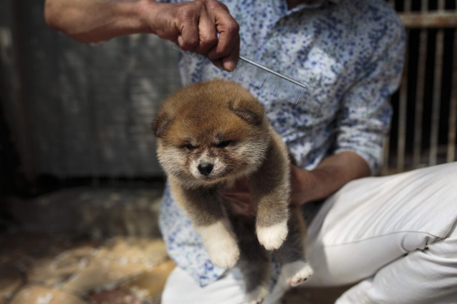 Japan S Akita Dogs Melt Foreign Hearts New Straits Times