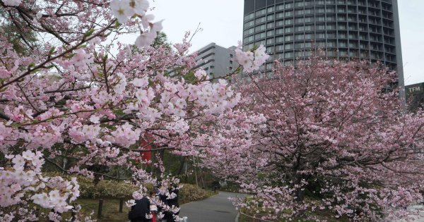 Invasive beetle threatens Japan's famed cherry blossoms
