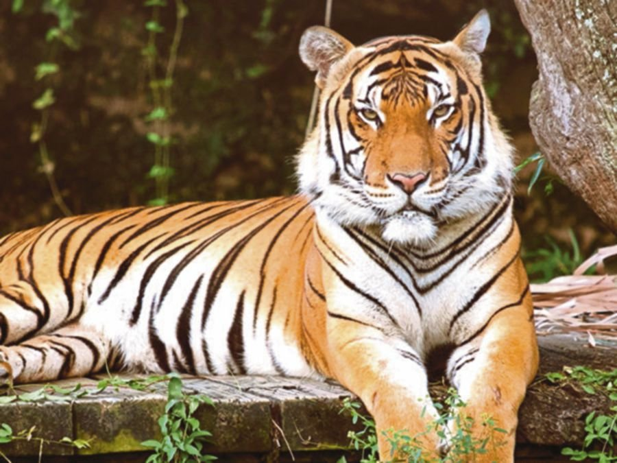 (File pic) The Malaysian Conservation Alliance for Tigers (MYCAT) has presented a cash donation of RM46,800 to the Save the Malayan Tiger trust fund. (NSTP/Pic Coutersy, Audubon Nature Institute)