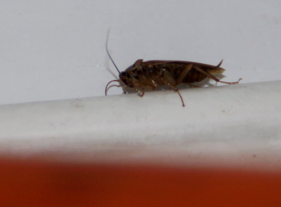 Image result for Cockroach chewed hole in woman's eardrum while ..