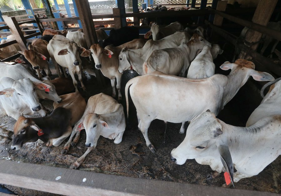 sufficient-livestock-for-hari-raya-aidiladha