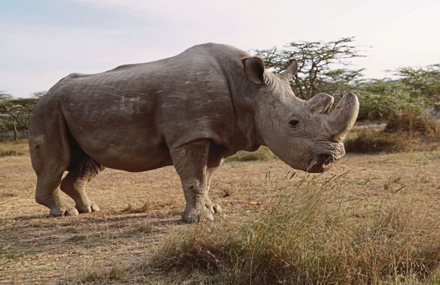 What The Death Of The Last White Rhino Should Teach Us