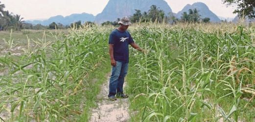Corn-farming could yield high profits for Malaysia | New Straits