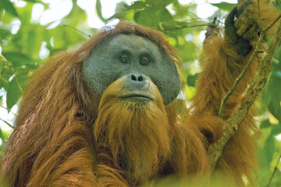 A pongo tapanuliensis in the Batang Toru Forest Complex, North Tapanuli District, North Sumatra, Indonesia. Photo credit: Tim Laman For Wikimedia Commons