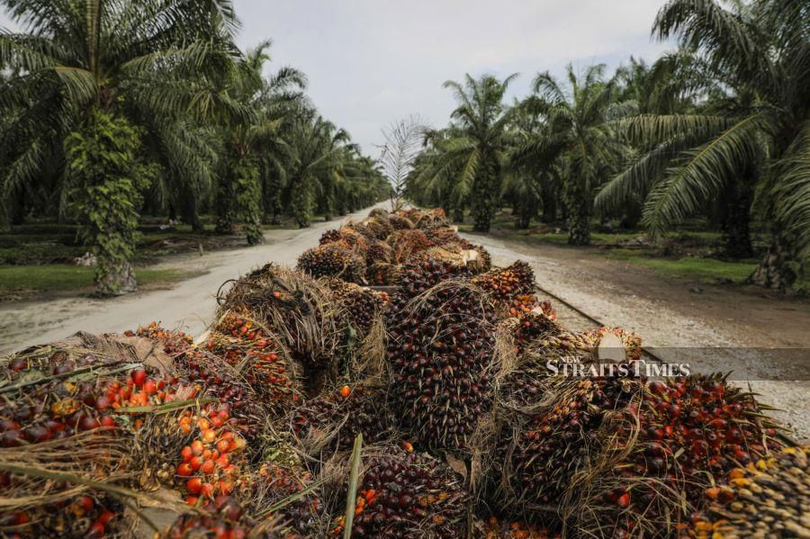 Palm oil reserves in Malaysia likely tumbled to a three-year low in July as production shrank and exports surged, according to a Bloomberg survey.Photographer: Joshua Paul/Bloomberg