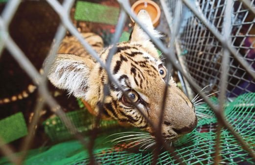 A scared 6-month-old tiger cub rescued from poachers recently. Pic by Mohd Fadli Hamzah