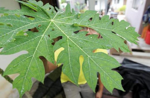 Papaya leaves safe for the treatment of dengue, improve platelet