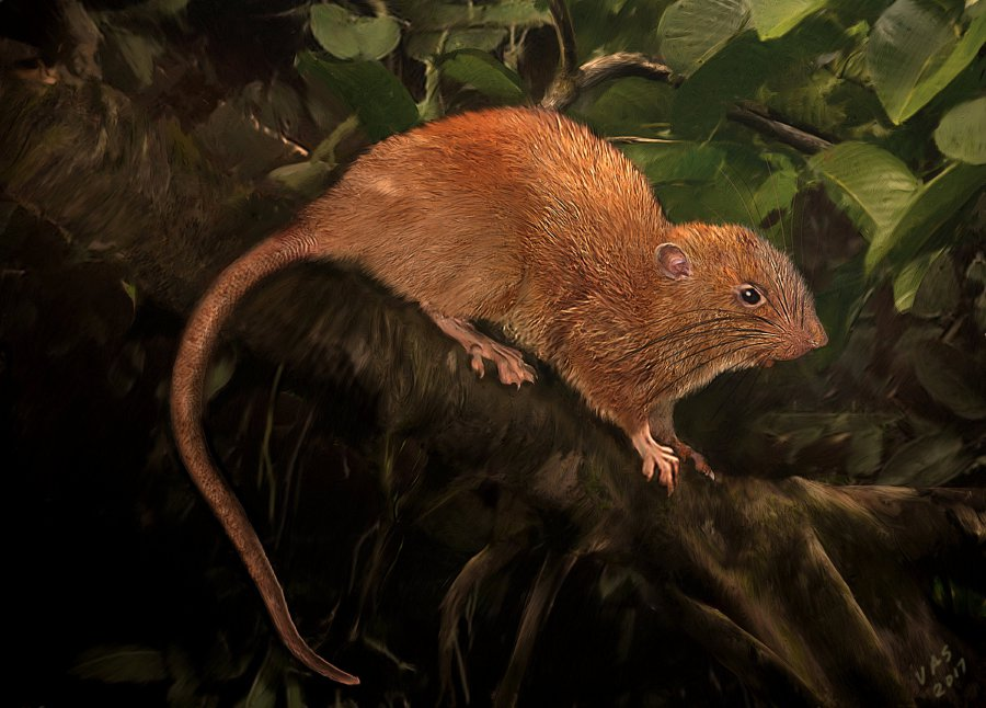 An illustration of a new species, Uromys vika is shown in this illustration provided September 28, 2017. Courtesy Velizar Simeonovski/The Field Museum/Handout via Reuters