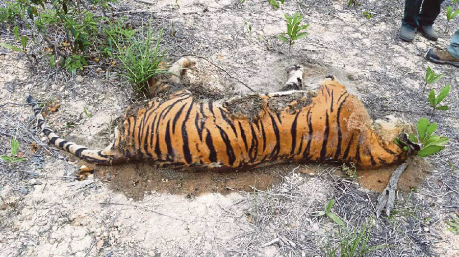 The carcass of a tiger found near Ladang Aramijaya, Mersing on March 4. It was believed to have died from Canine Distemper. -Pic courtesy of the Wildlife and National Parks Department