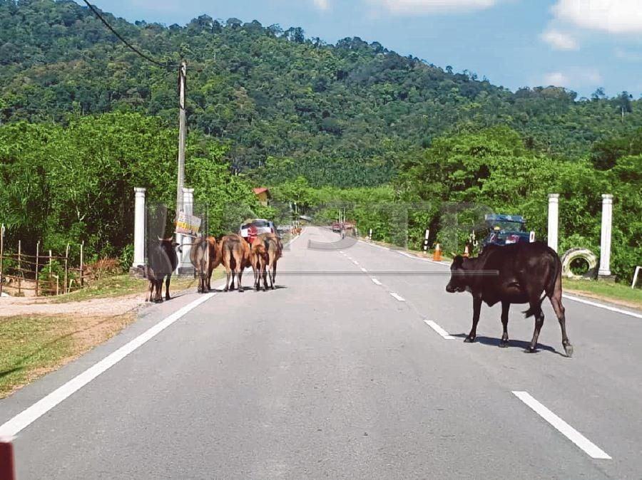 Cows roam a road in Machang, Kelantan. PIC BY SHARIFAH MAHSINAH ABDULLAH