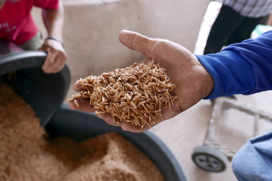 FILE PHOTO: A farmer holds rice in his hand in Khon Kaen province in northeastern Thailand, March 12, 2019. REUTERS/Patpicha Tanakasempipat/File Photo