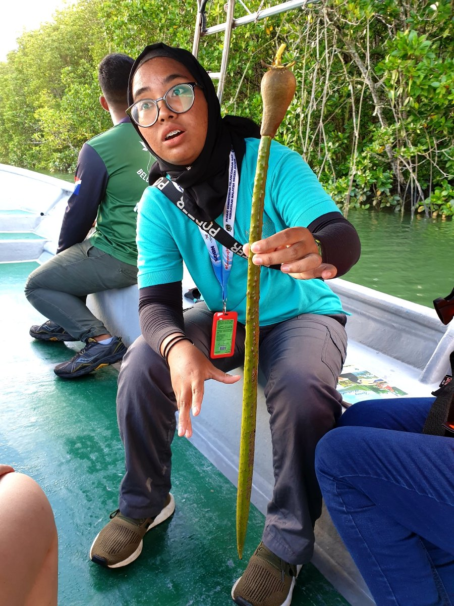 Along showing us the seedling of a mangrove plant.