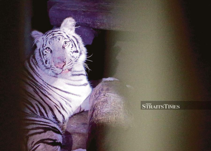 "After a three month wait, ""Elsa"" the white Bengal tiger finally arrived at the Melaka Zoo in Ayer Keroh, here, last night. - NSTP/RASUL AZLI SAMAD."