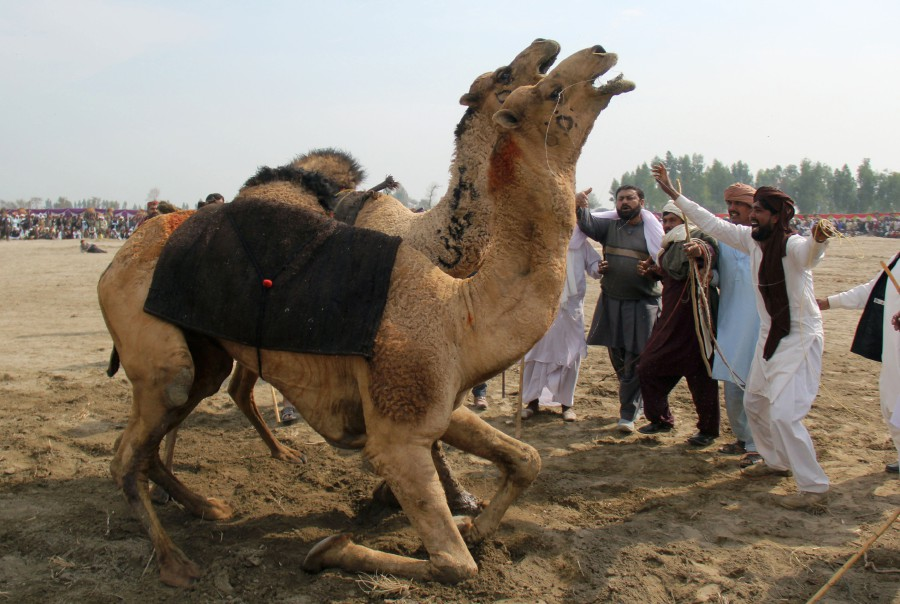 Culture or cruelty? Camel fighting persists in Pakistan