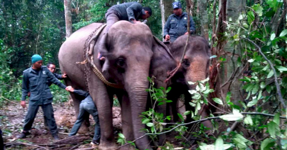 Elephant relocated to a bigger forested area