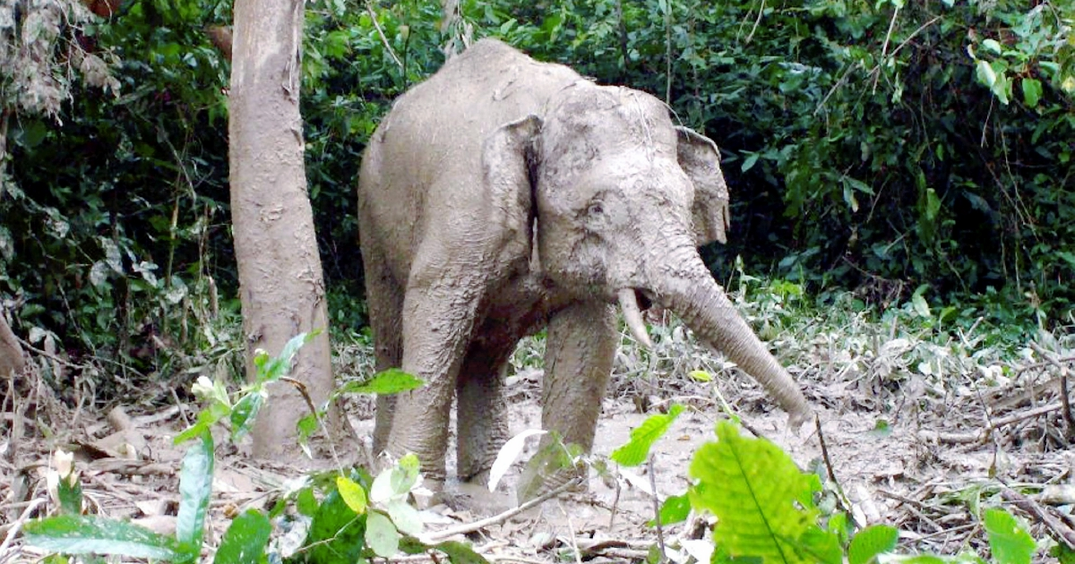 'Girang' the elephant believed to have died from poison