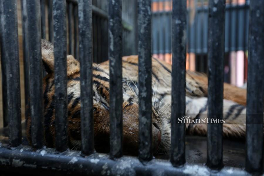 Awang Besul' the tiger dies | New Straits Times | Malaysia
