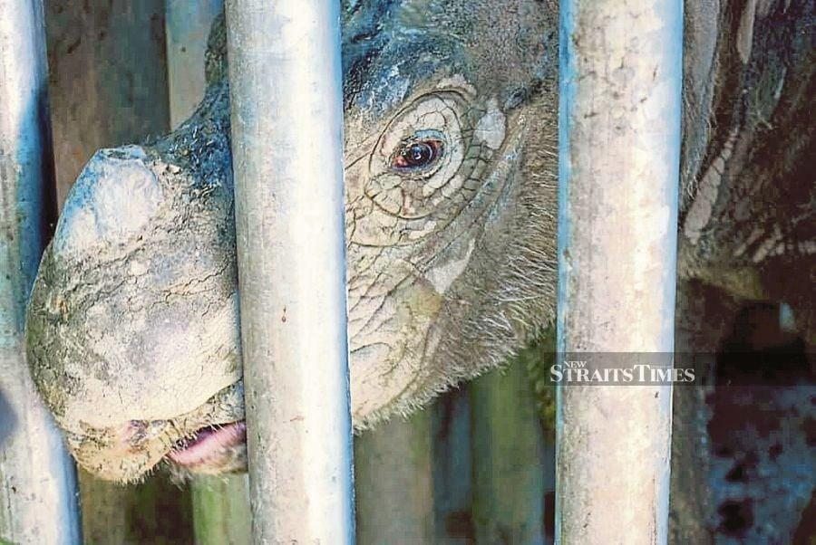 Sumatran rhinoceros has become extinct in Malaysia