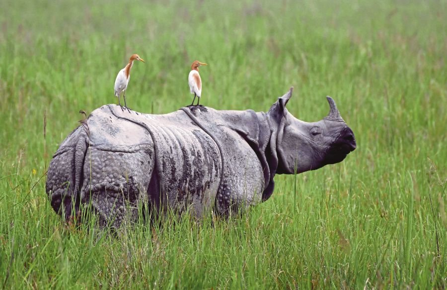 (File pix) In this photo taken on June 17, 2019, egrets sit on a grazing one-horned rhinoceros in Kaziranga National Park, some 220 km from Guwahati, the capital city of Assam. AFP Photo