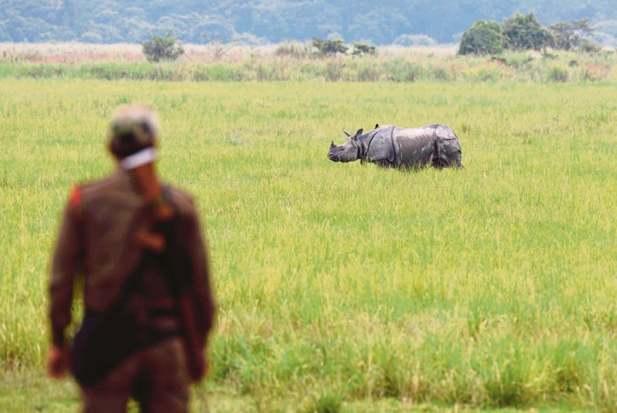 (File pix) In this photo taken on June 17, 2019, an Indian forest guard stands as a one-horned rhinoceros grazes in Kaziranga National Park, some 220 km from Guwahati, the capital city of Assam. AFP Photo