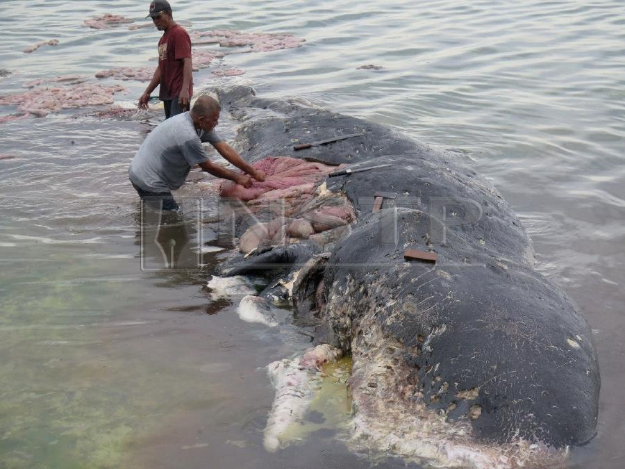A stranded whale with plastic in his belly is seen in Wakatobi, Southeast Sulawesi, Indonesia, November 19, 2018 in this picture obtained from social media. REUTERS photo