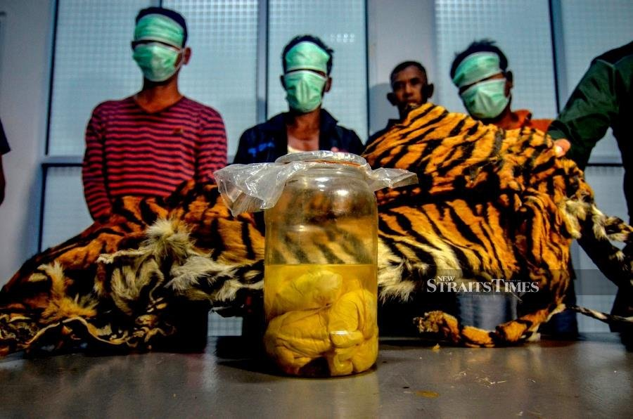 Foetuses, Skin Of Endangered Tiger Found In Indonesia Poachers' Arrests