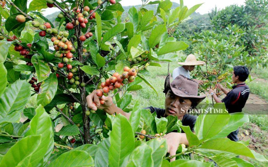 Coffee is a favourite drink of many as 38 per cent of employees who claim that they cannot go through a day at work without coffee, while 30 per cent of employees state that coffee increases the focus and productivity of their work.  - NSTP file pic