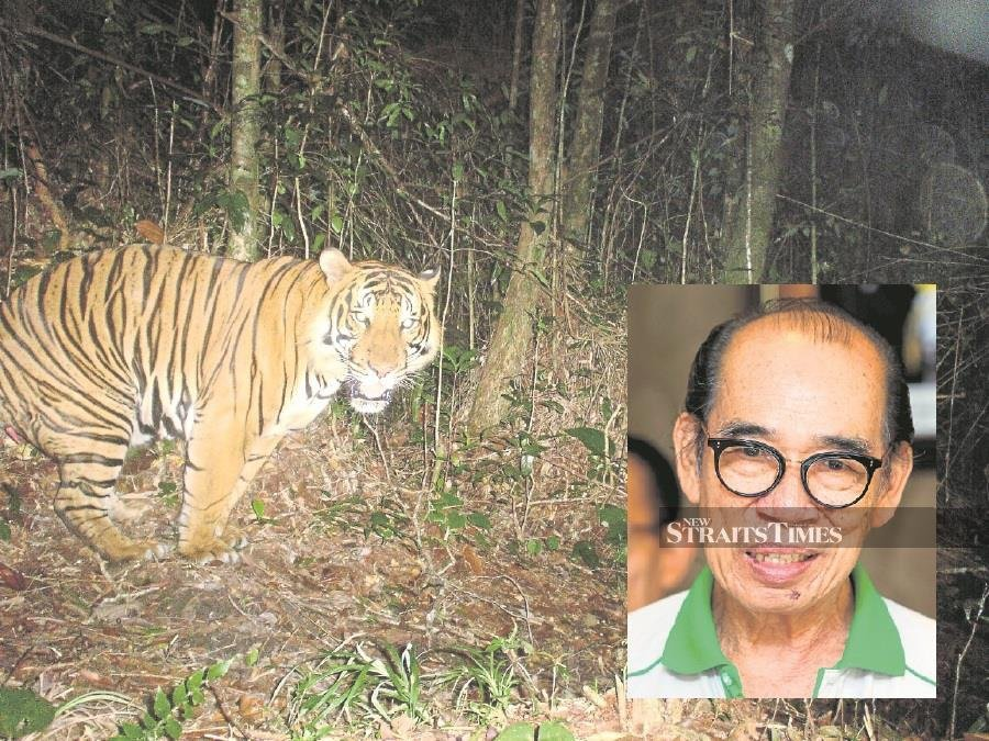 A tiger captured by World Wide Fund for Nature Malaysia's camera recently. (Inset) Malaysian Nature Society vice-president Vincent Chow. PIC COURTESY OF WWF MALAYSIA
