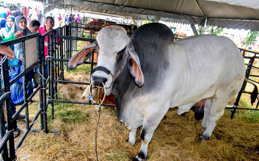 Nasrul said the cow was showcased to inform the public that they could breed it commercially at home. -- Bernama photo