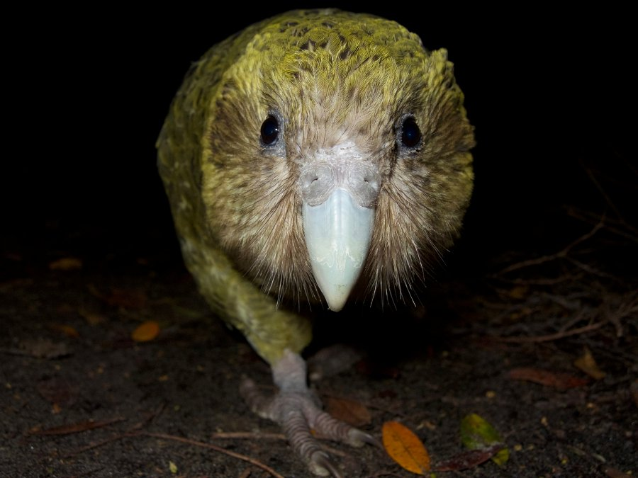 Endangered NZ's Kakapo population boosted by record number of chicks