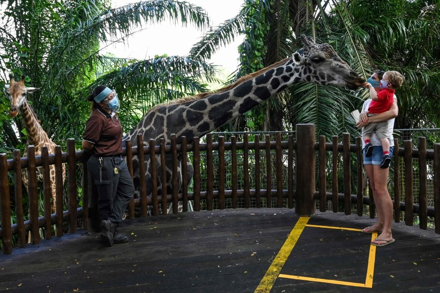 A child carried by the mother feeds the giraffe in an enclosure at the Singapore Zoo in Singapore on its first day of reopening to the public after the attraction was temporarily closed due to concerns about the COVID-19 novel coronavirus. -AFP pic