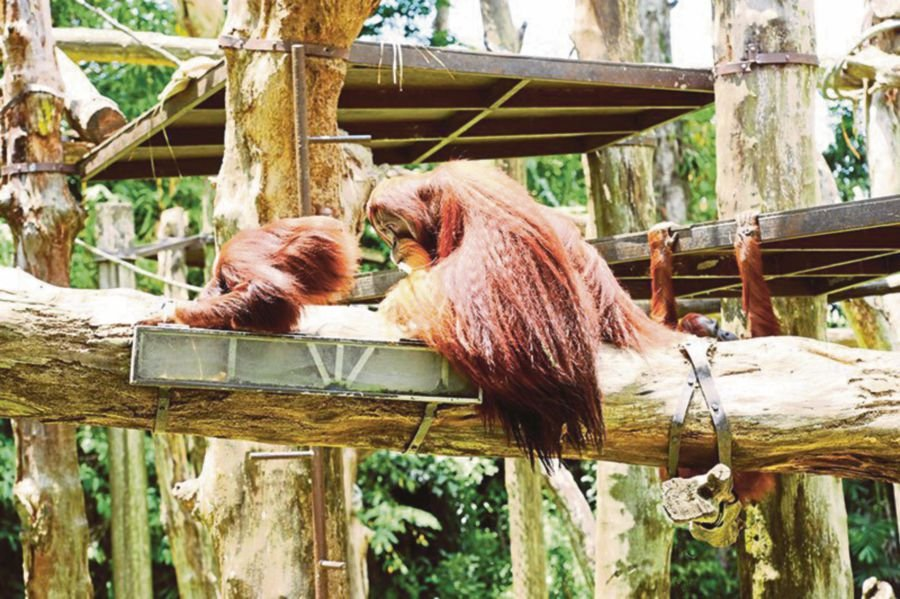 Face-to-face experience with endangered orangutan at