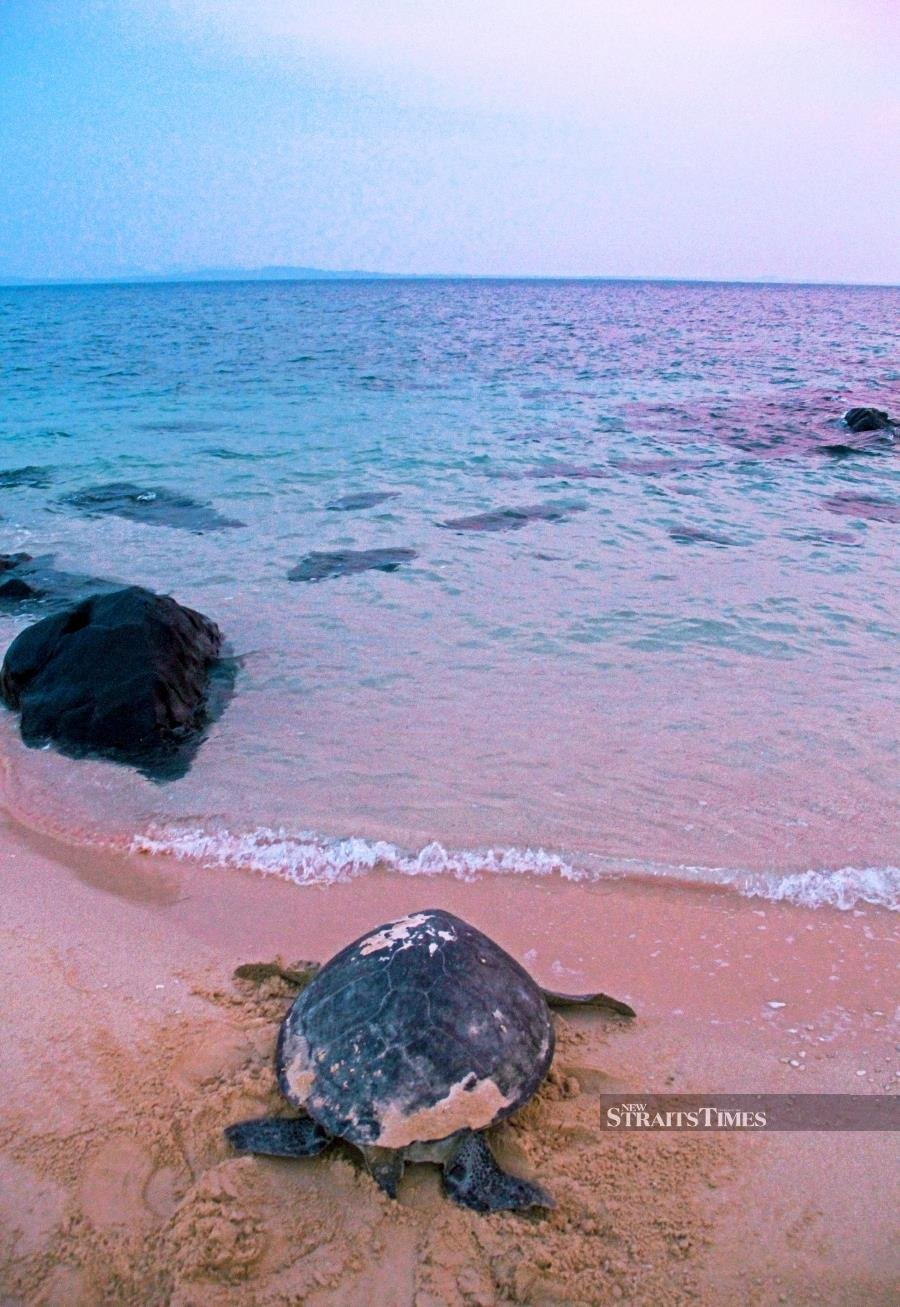 These four specks of land known as Talang-Satang National Park in the South China Sea are home to a turtle hatchery with a programme to release hatchlings back to sea. Overnight visitor numbers are limited and accommodation is basic, but the rewards are high. During the day, relax, read or swim in the clear waters. At dusk, turtles will start landing on the beach to lay their cache of eggs. Rangers lead tourists to watch the laborious task and then to the hatchery to release young turtles. This is a great destination for adventurous travellers as turtles arrive on many nights of the year. Several operators do arrange tours to the island.