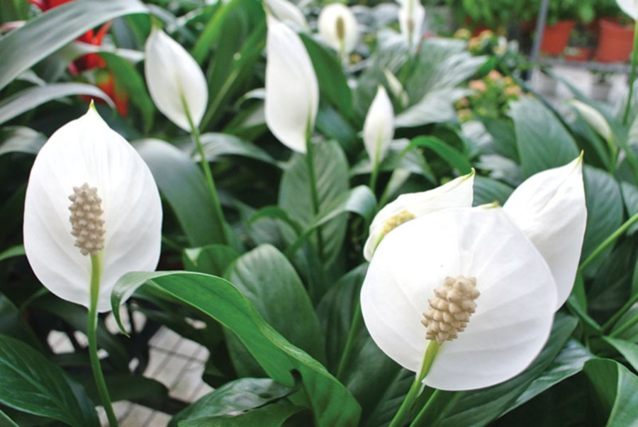 Cny plants for prosperity and fortune new straits times malaysia also belonging to the araceae family like the flamingo lilies these plants which are known as peace lilies have ivory white flowers mightylinksfo